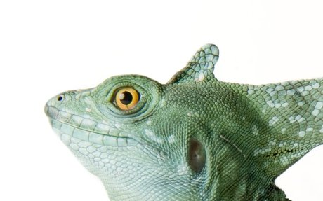 Basilisk Lizard Walks on Water to Escape Predators