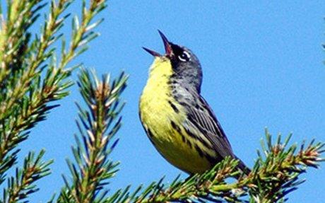 U.S. Fish & Wildlife Service - Migratory Bird Program   Conserving America's Birds
