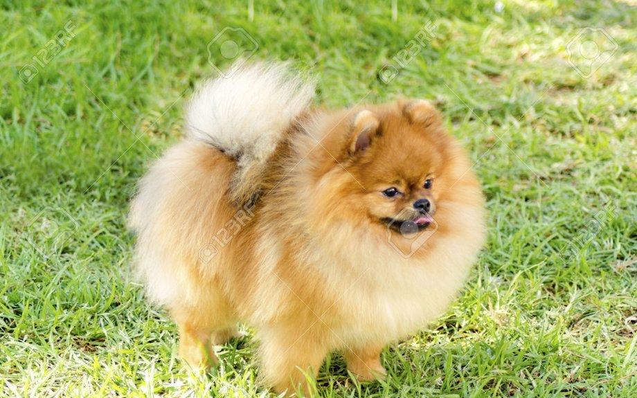Pomeranian Health