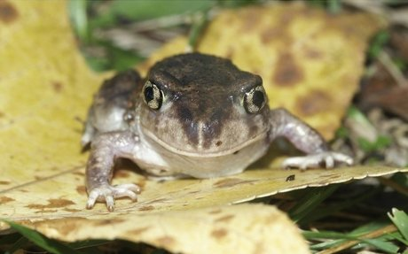 Eastern Spadefoot Toad | Facts About Toads