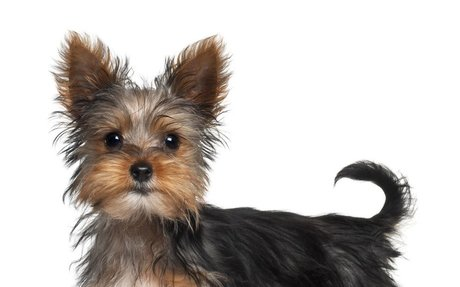 Yorkshire Terriers History