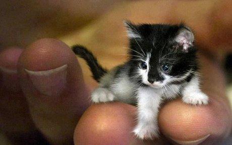 A világ legkisebb cicája