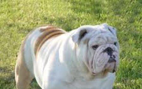 Buldogue Campeiro, Campeiro Bulldog, Brazilian bulldog