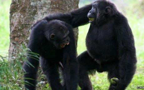 Animal Communication: Chimpanzee Gestures