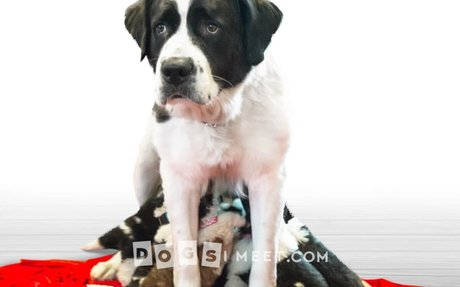 Pawfect Life Rescue: Saint Bernard Rescue - mom and her 12 puppies