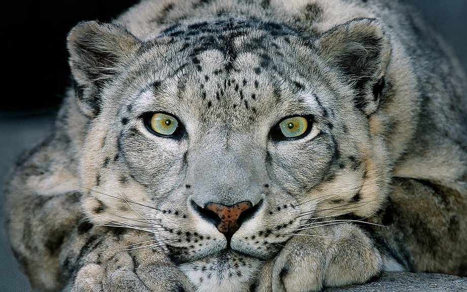 Snow Leopard | San Diego Zoo Animals & Plants