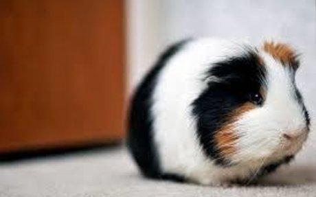 Yo tengo una guinea pig su nombre es Flint