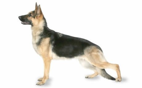 German Shepherd Dog Breed Information, Pictures, Characteristics & Facts - Dogtime