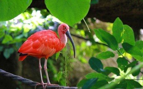 The Scarlet Ibis - Caroni Swamp Tour 2019 - Trinidad