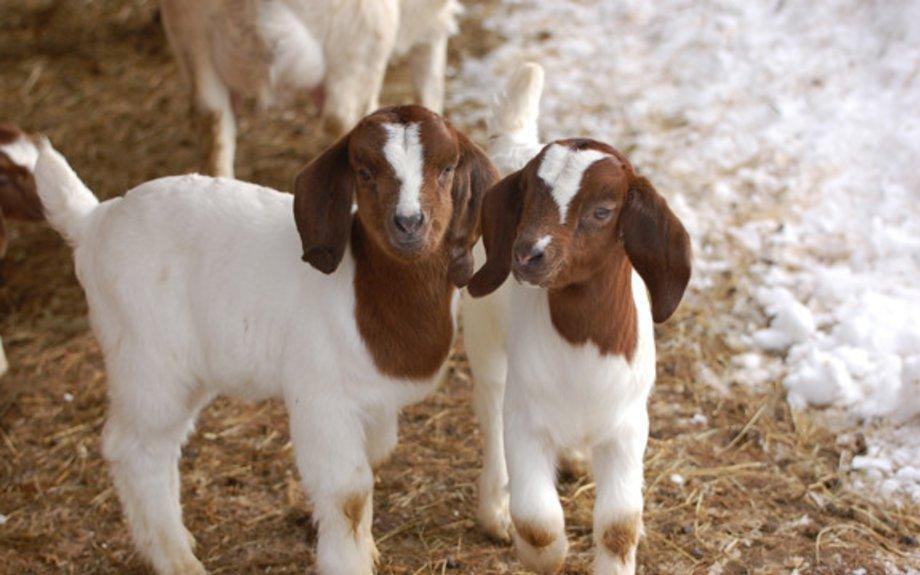 Goat Mama