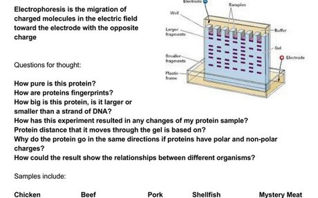 Protein Electrophoresis Lab