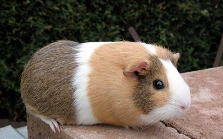 How To Care for Guinea Pigs - Petfinder