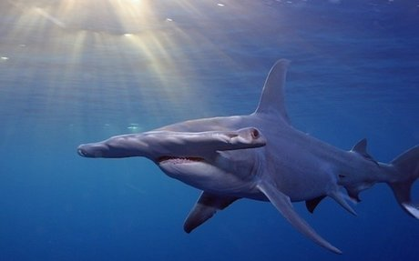 100 Million Sharks Killed Every Year, Study Shows On Eve of International Conference