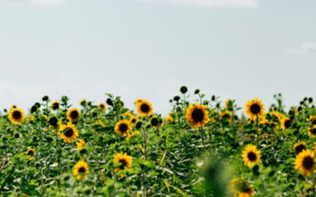 History and Meaning of Sunflowers - ProFlowers Blog