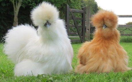 Chicken Breeds - Silkie Bantam