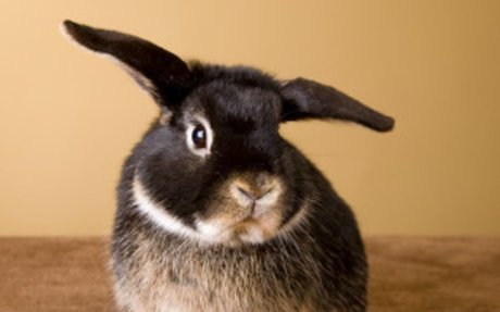 Getting a Pet Rabbit: What to Expect