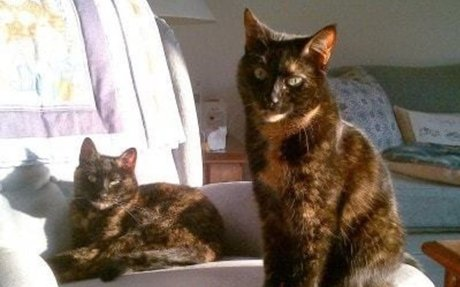 """Tortitude"" - The Unique Personality of Tortoiseshell Cats: Fact or Fiction? - The Conscio"