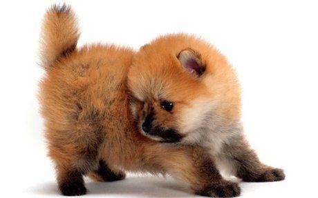 Pomeranian Breed Information