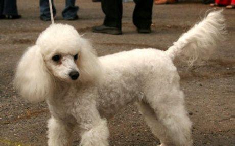 Toy Poodle Dog - Knowledge Base LookSeek.com