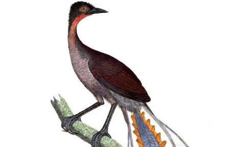 Superb Lyrebird - The Greatest Mimic