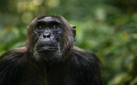 Chimps and bonobos had flings—and swapped genes—in the past