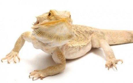 The Pogona (Bearded Dragon).