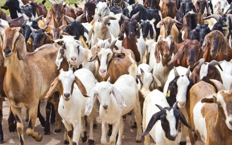 Hundreds of animals sacrificed for divine blessings in Odisha