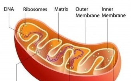 Function of Mitochondria