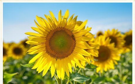 15 Most Beautiful Types of Sunflowers - FTD.com