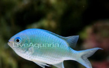Saltwater Aquarium Fish for Marine Aquariums: Blue/Green Reef Chromis