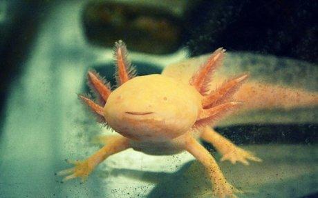 Le génome de l'axolotl, cette mine d'or