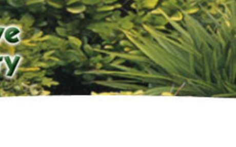 Macropiper excelsum - Kawakawa