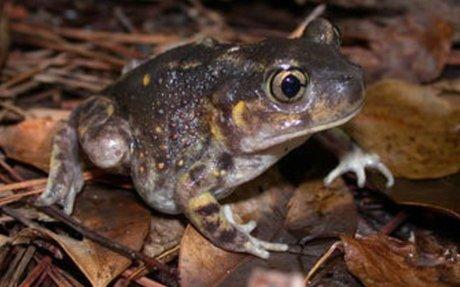 Species Profile: Eastern Spadefoot Toad (Scaphiopus holbrookii) | SREL Herpetology