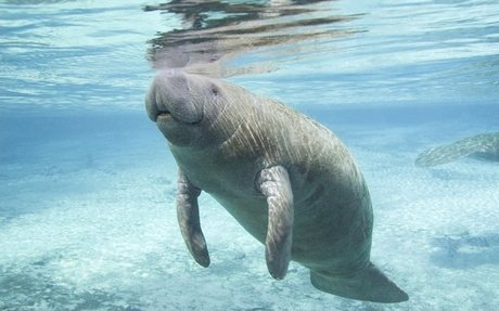 Manatees | National Geographic