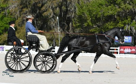 Driving: Thompson, Whittington, and Wright Secure Leads Following Dressage at Live Oak