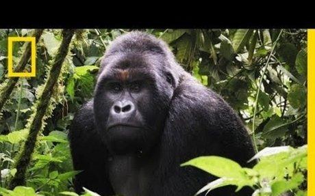 Close Gorilla Encounter | Explorer