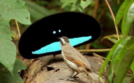 Mating Rituals: Superb Bird-of-Paradise