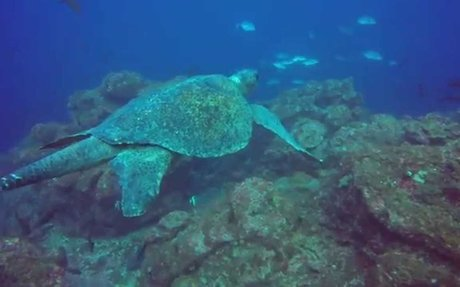 Video: Endangered Oceans, Endangered Turtles