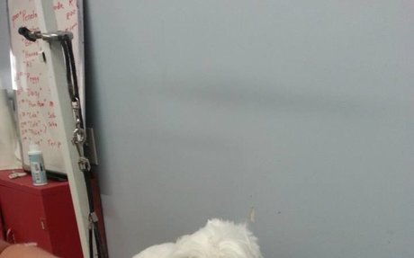 Maltese Dog Haircut Challenges