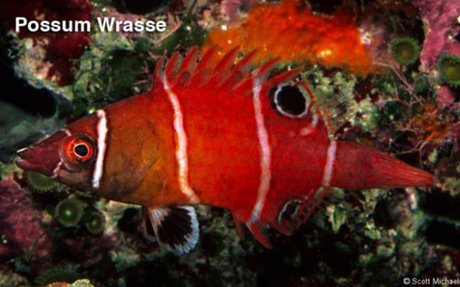 Possum Wrasse – (30-55 gallon tank) - My Right Fish : Marine Aquarium Resource for the Beg