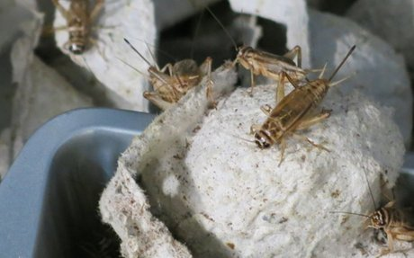 Urban Farmer Sets His Sights on a New Venture: Crickets