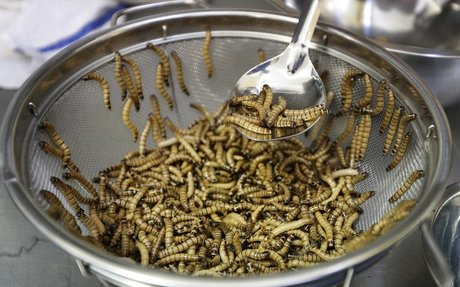 Can insects go from pests to popular snack foods?