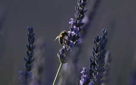 France lifts bee-killing pesticide ban